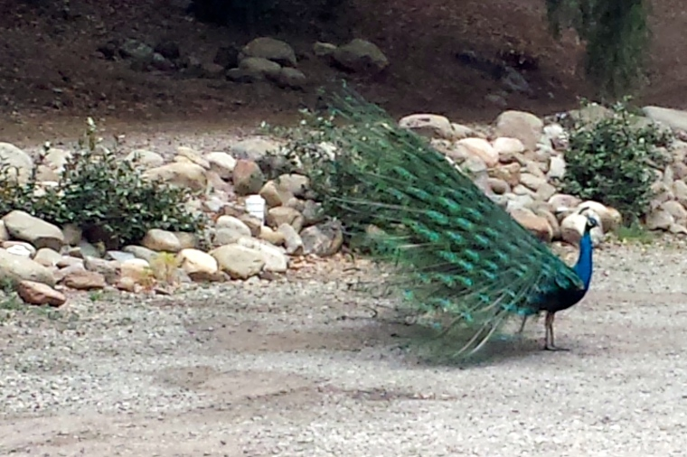 Meet the neighbors. Did you know that the Ventura Ranch KOA in Santa Paula has a large peacock community?